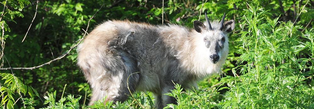 白神山地に生息する哺乳類